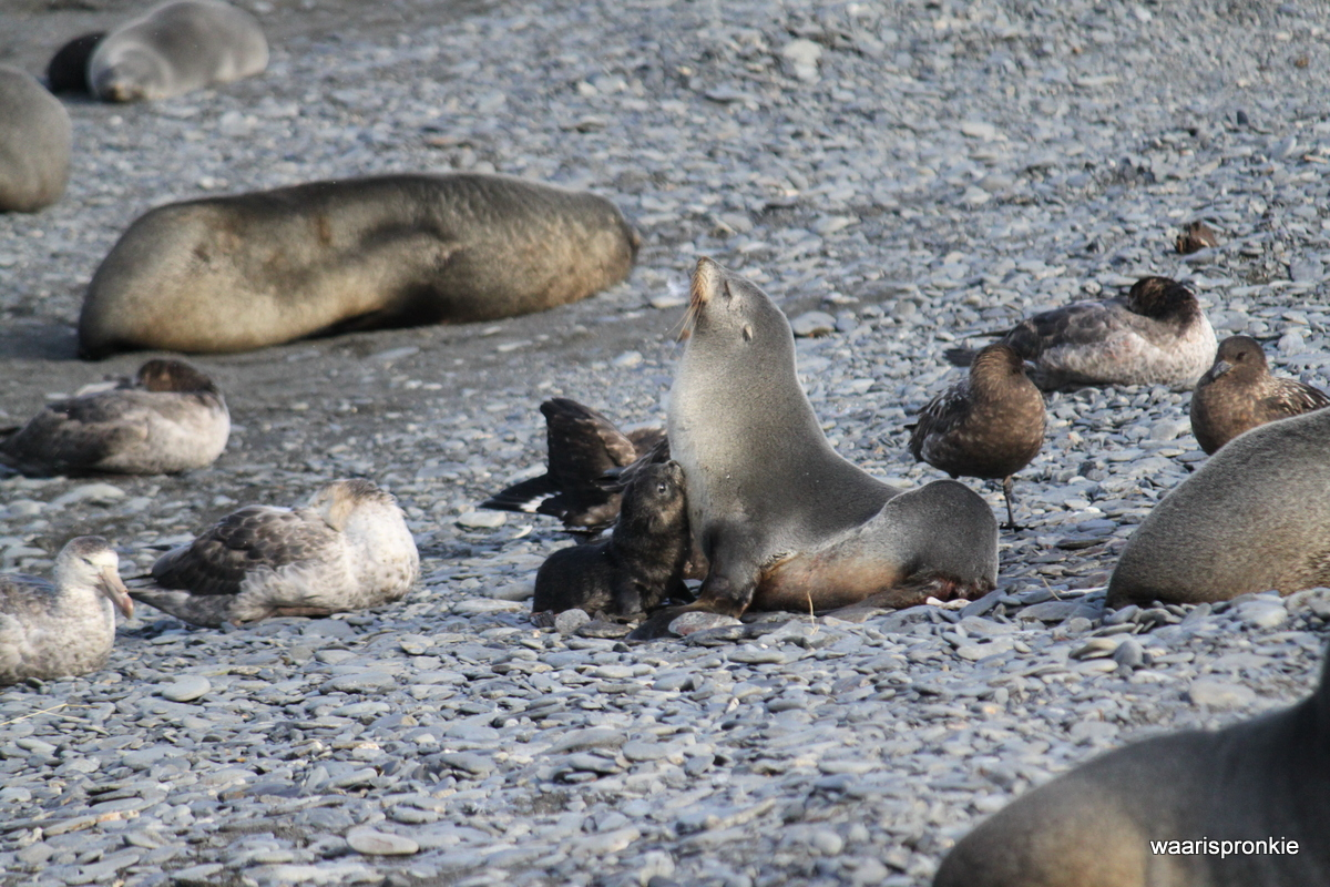 South Georgia, Rosita Harbour, Fur Seals (female and pup)