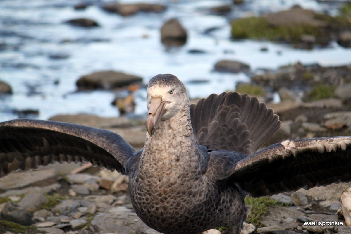 South Georgia, Rosita Harbour, Giant Petrel
