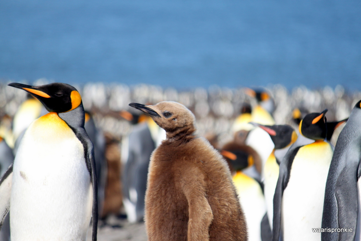 South Georgia, St. Andrews Bay, King Penguins