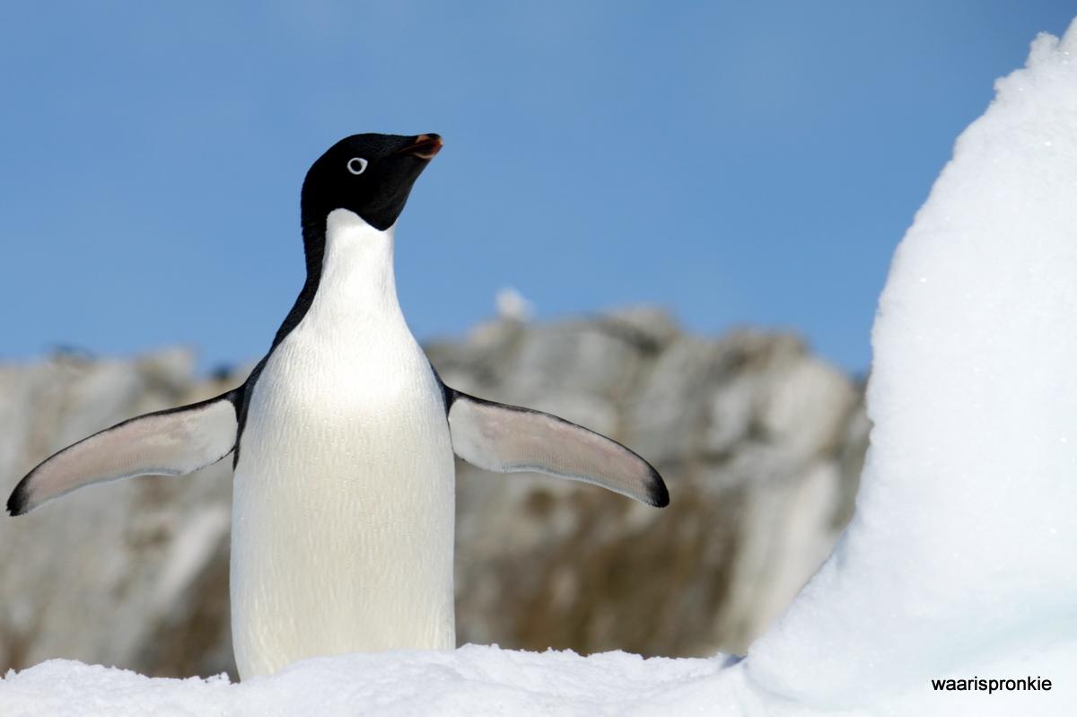 Antarctica, Danger Islands, Heroina Island, Adelie Penguin