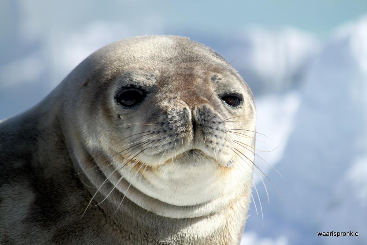 Antarctica, Danger Islands, Heroina Island, Weddell Seal