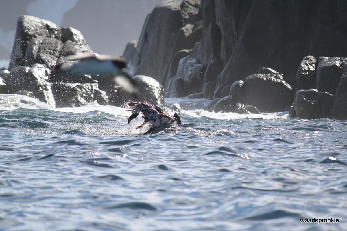 Antarctica, Danger Islands, Platter Island, Leopard Seal