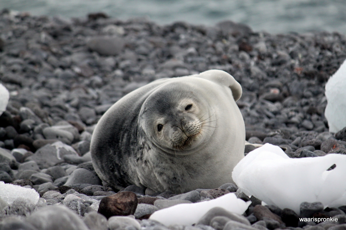 Antarctica, Paulet Island, Weddell Seal