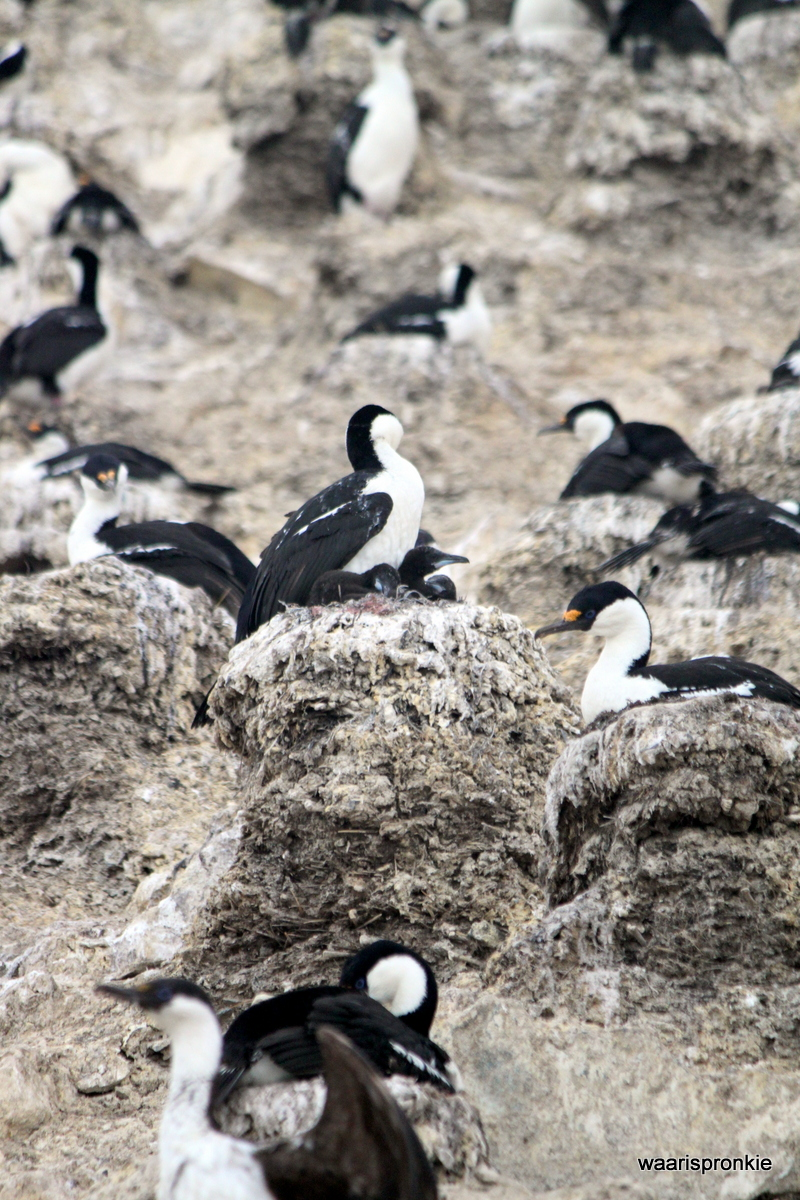 Antarctica, Paulet Island, Shag