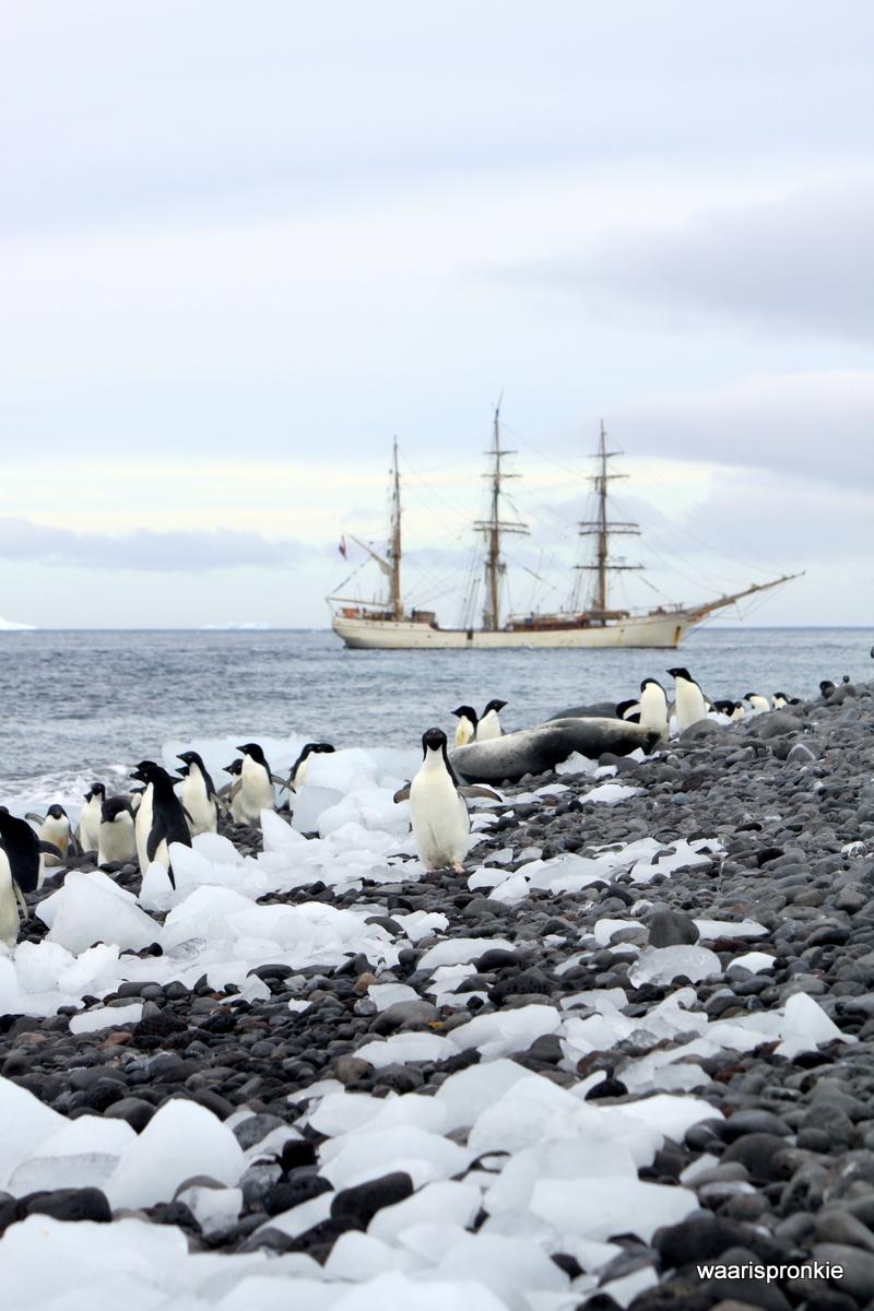 Antarctica, Paulet Island, Adelie