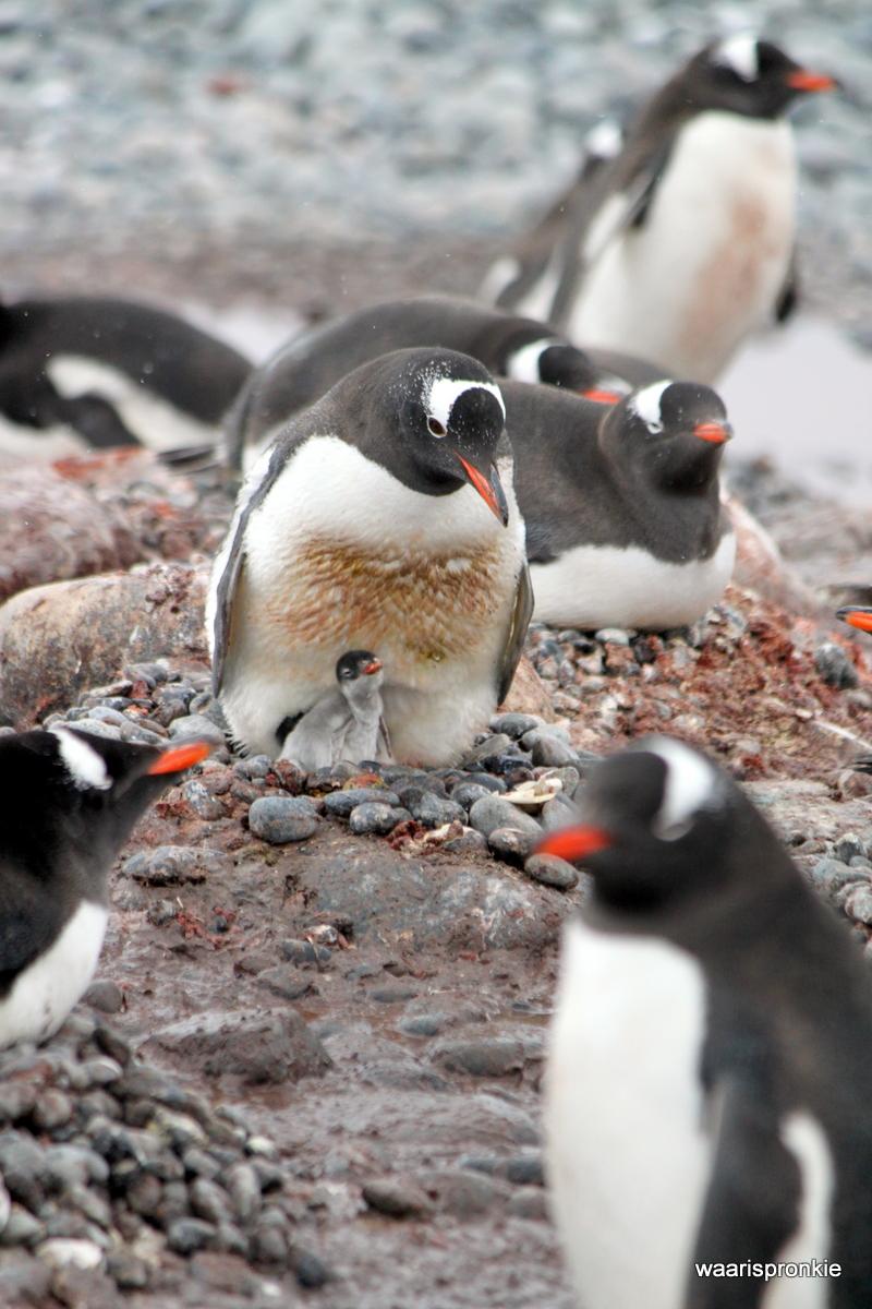 Antarctica, Greenwich Island, Fort Point, Gentoo
