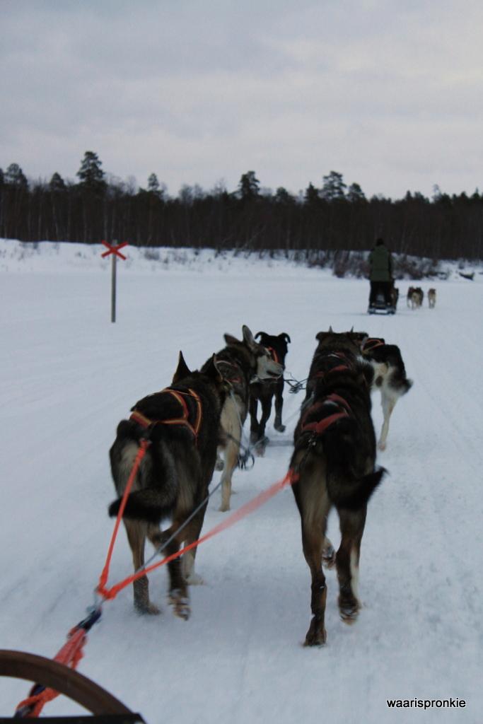 Dog Sledding Tour, Ivalo