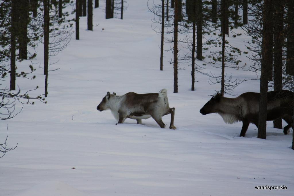 Reindeer in Ivalo