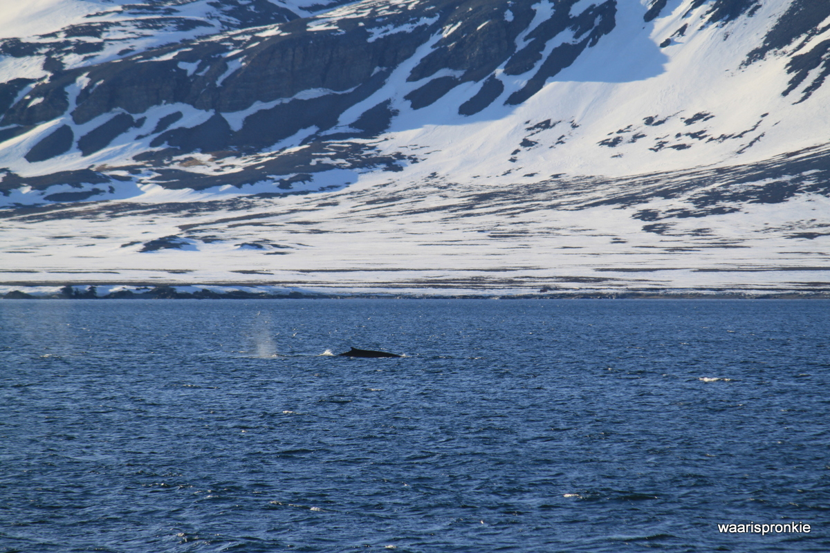 Blue whale at Isfjorden