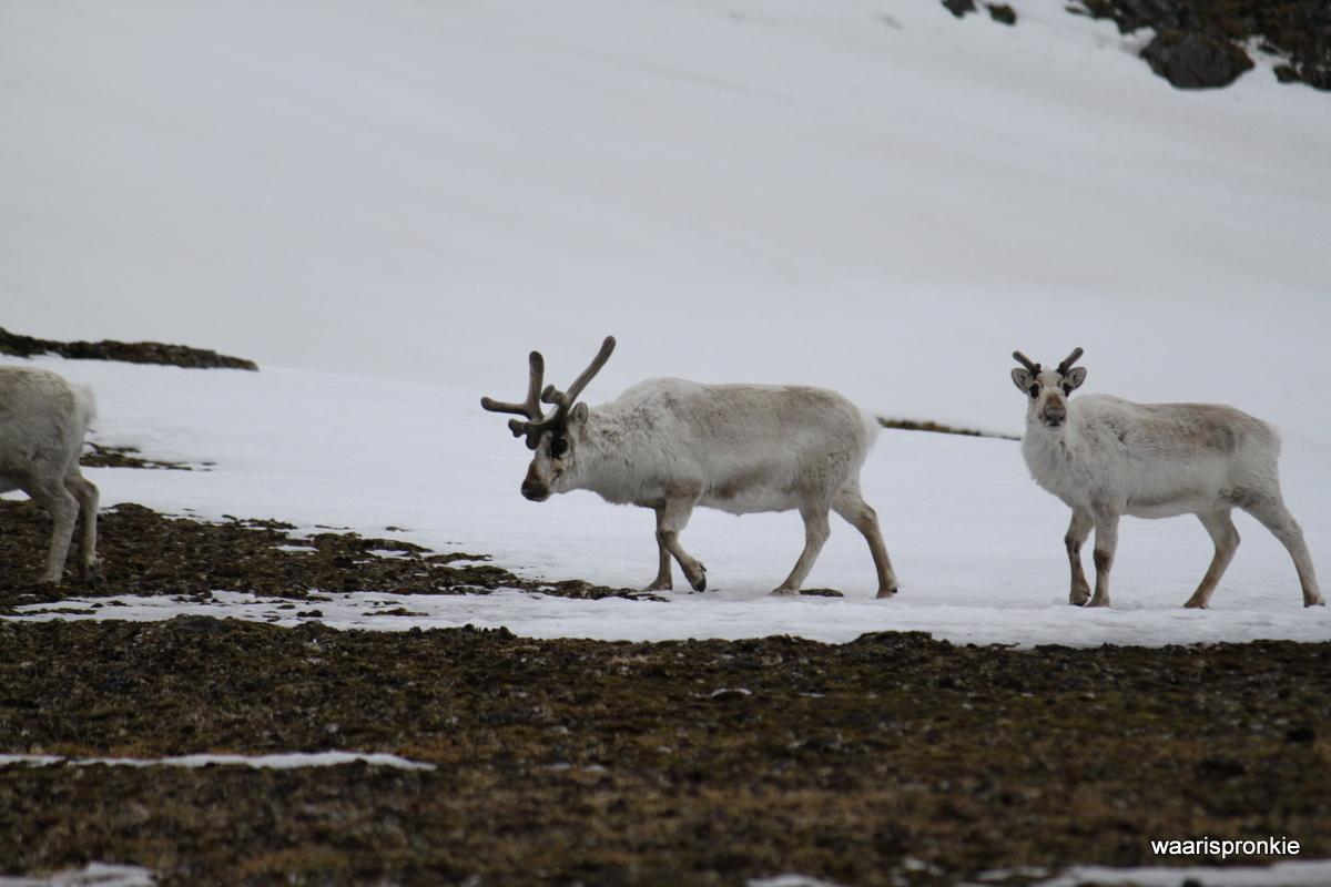 Fuglehuken, Svalbard Reindeer