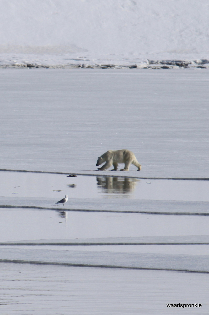 Hornsund, Samarin bay, Polar Bear