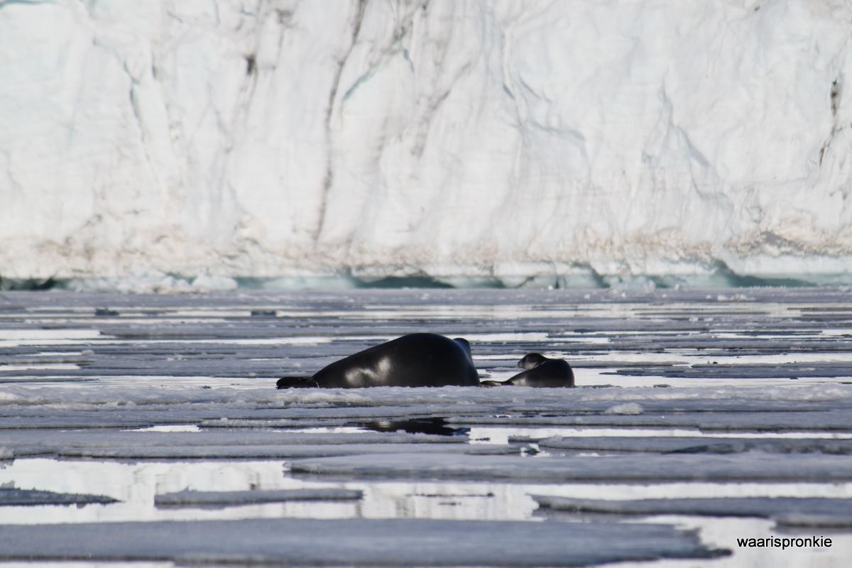 Hornsund, Bearded Seal and pup
