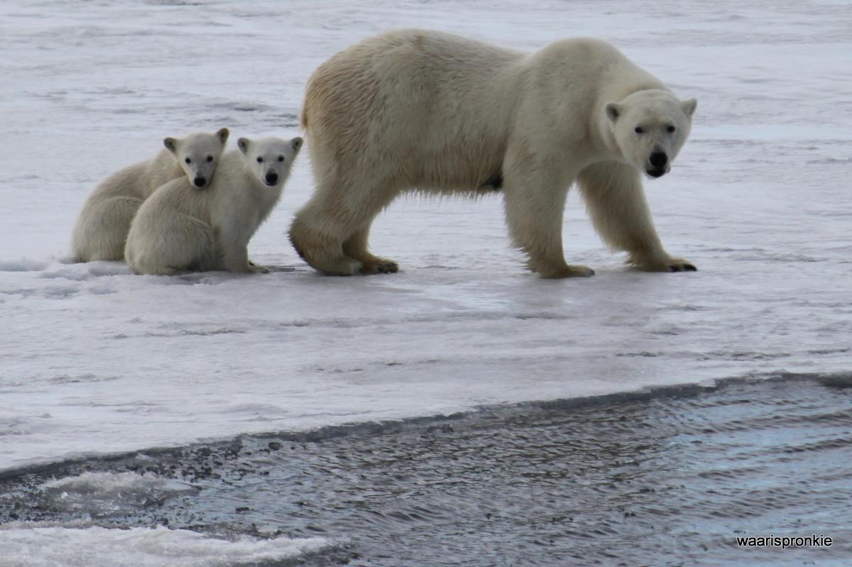 Brepollen, Hornsund, Polar Bear & 2 cubs