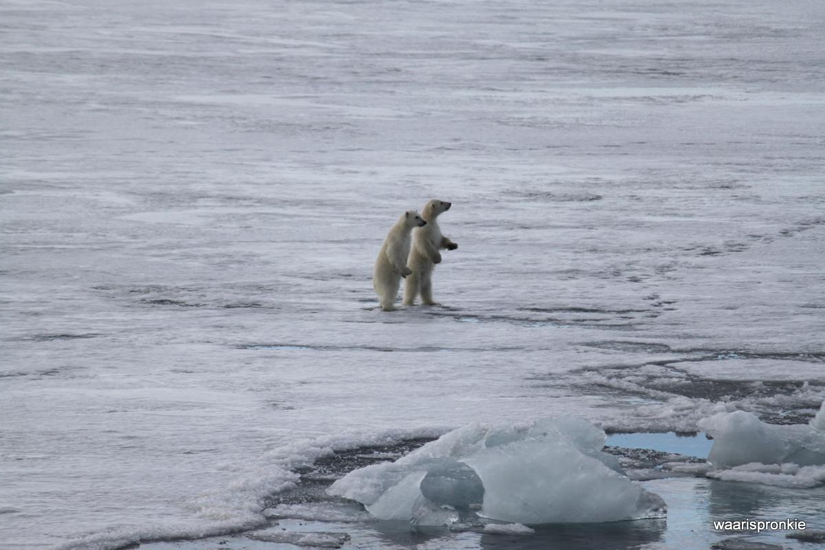 Brepollen, Hornsund, Polar Bear cubs playing