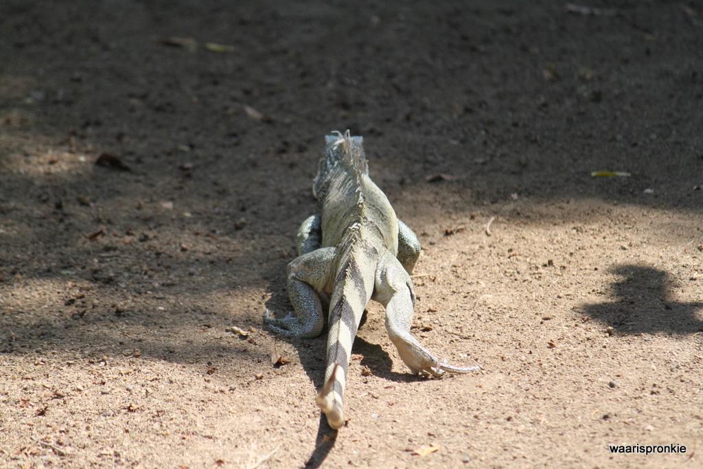 Iguana, St Michiel