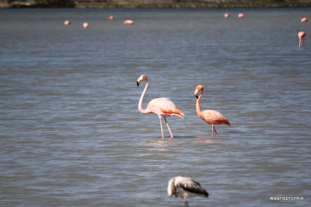 Flamingo @St Willibrordus