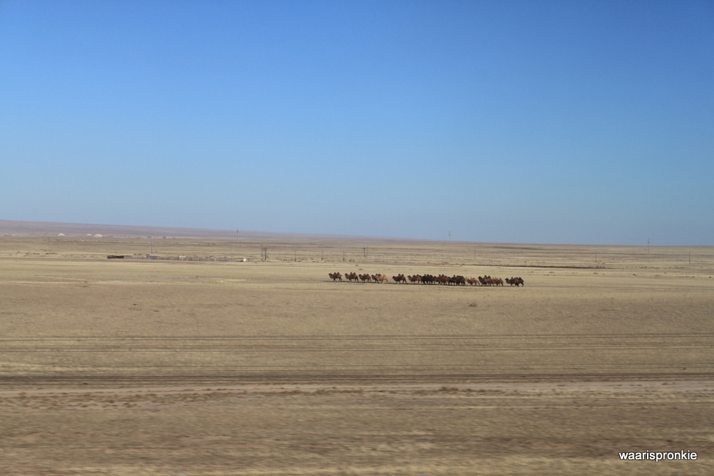 Real Camels (!) from the train to Beijing