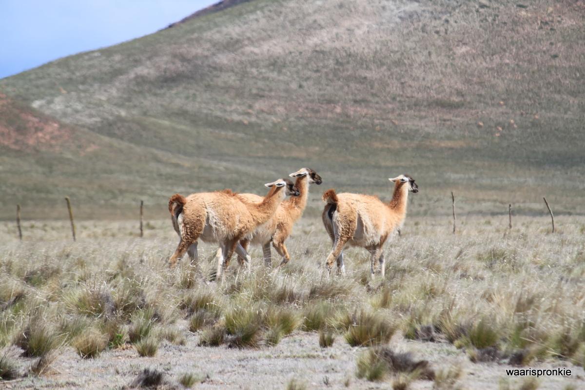 Los Cardones National Park, Guanaco