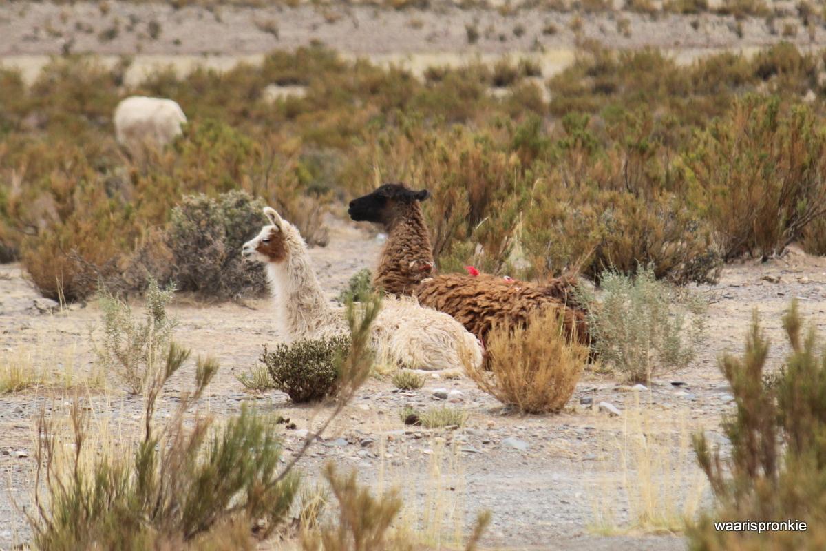 Salinas Grande Tour, Lama