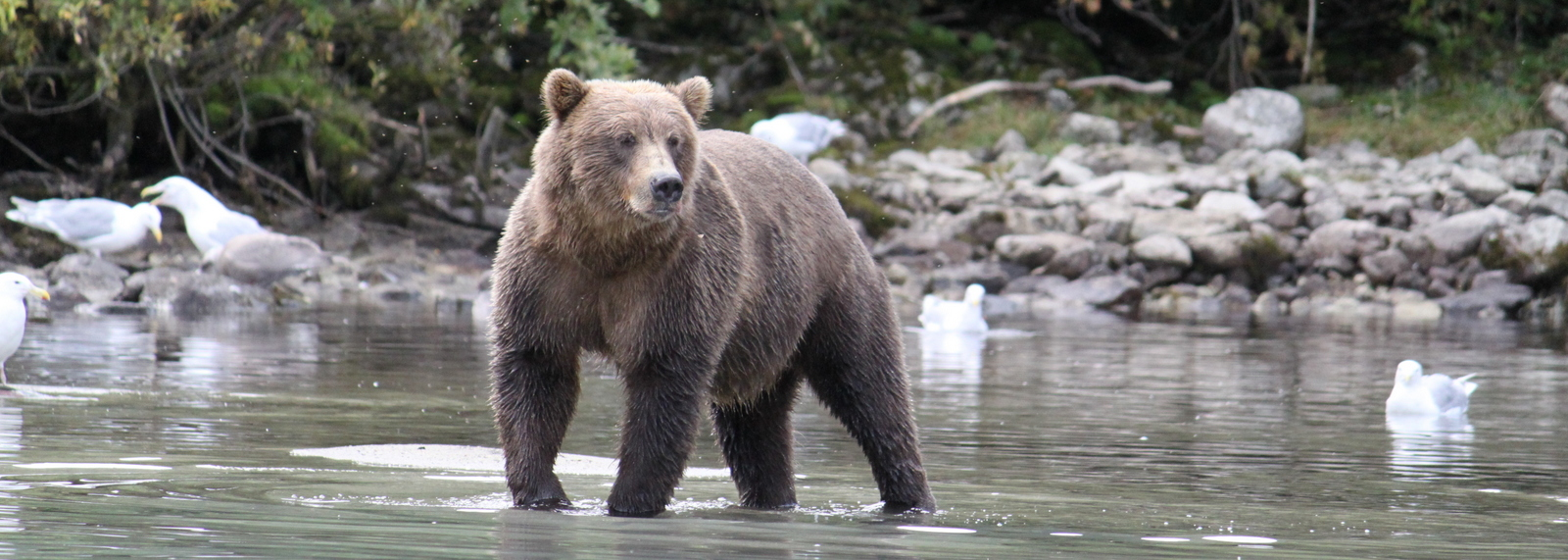 Male Brown Bear, Lake Clark, Alaska