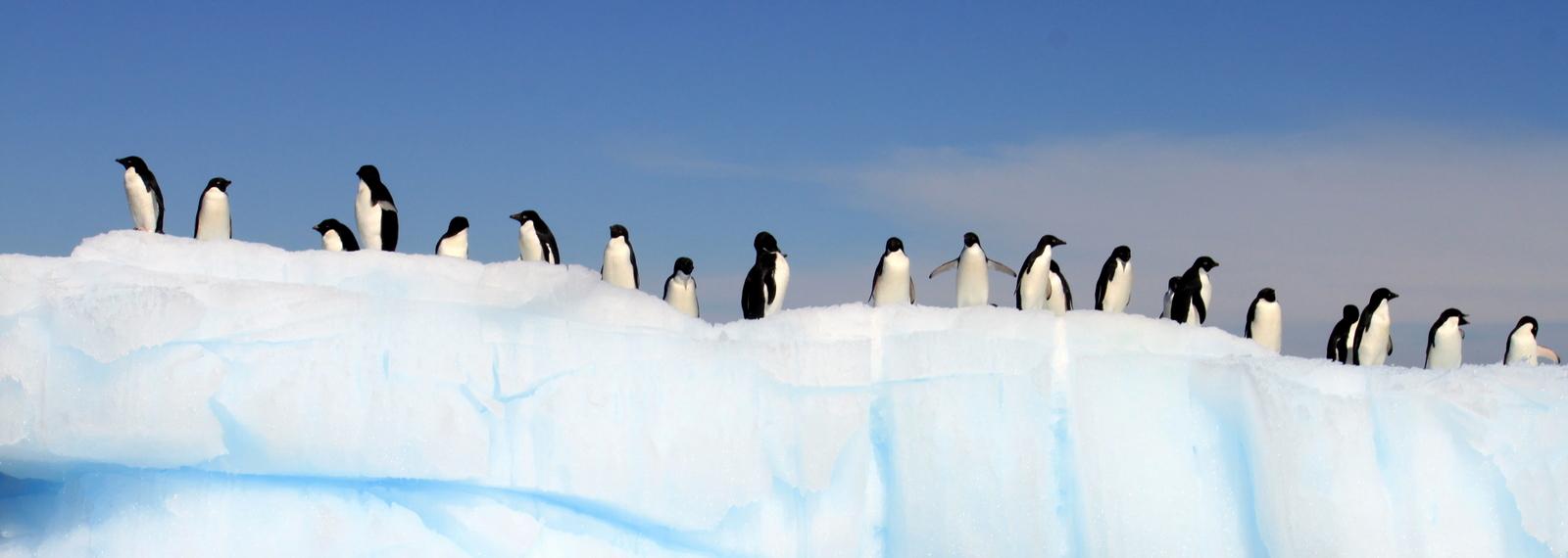 Antarctica, Danger Islands, Platter Island, Adelie Penguin