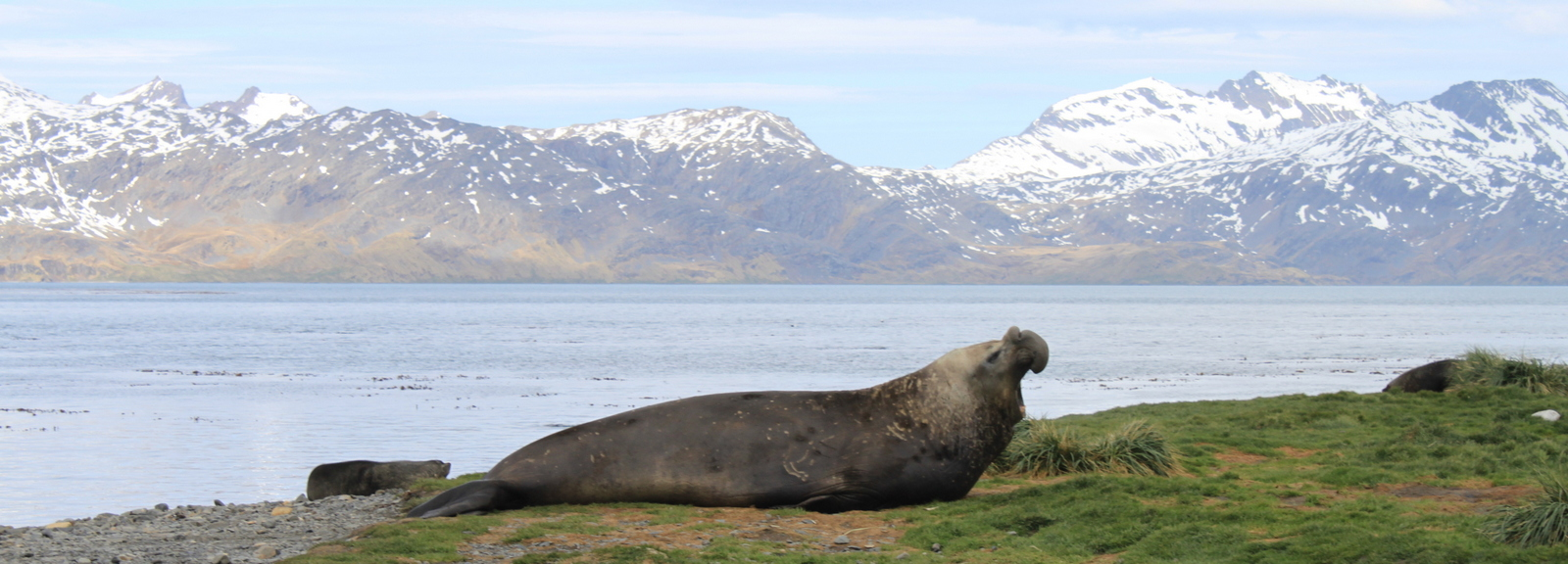 South Georgia, Grytviken, Elephant Seal