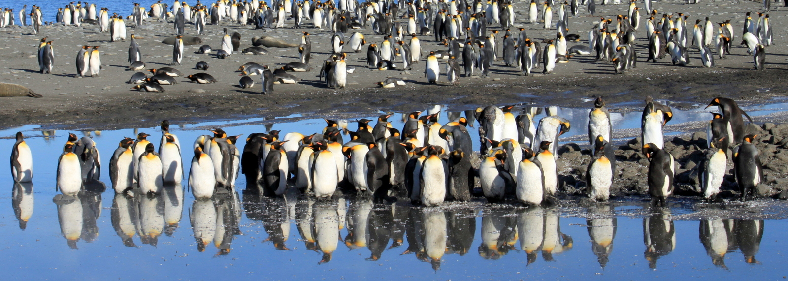 South Georgia, St Andrews Bay, King Penguins