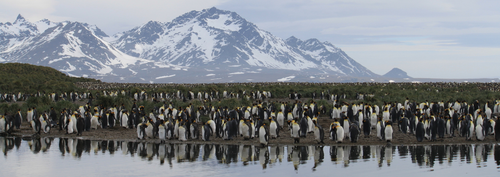 South Georgia, Will Point, King Penguins