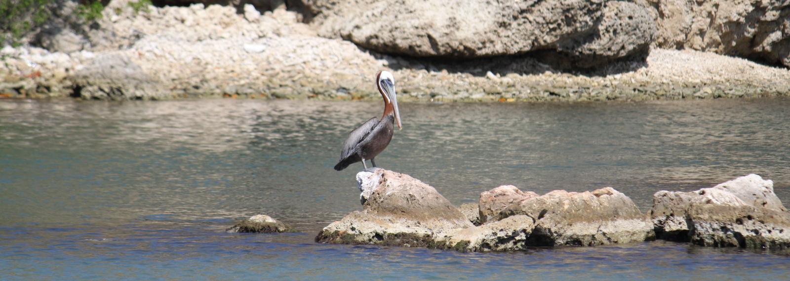 Brown Pelican (Pelecanus occidentalis) Boka Santa Cruz