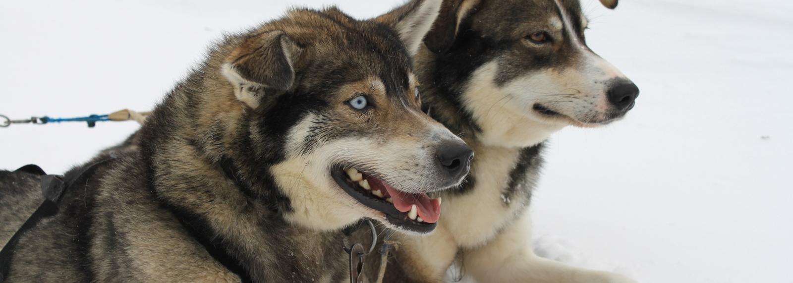 Huskies, Finish Lapland