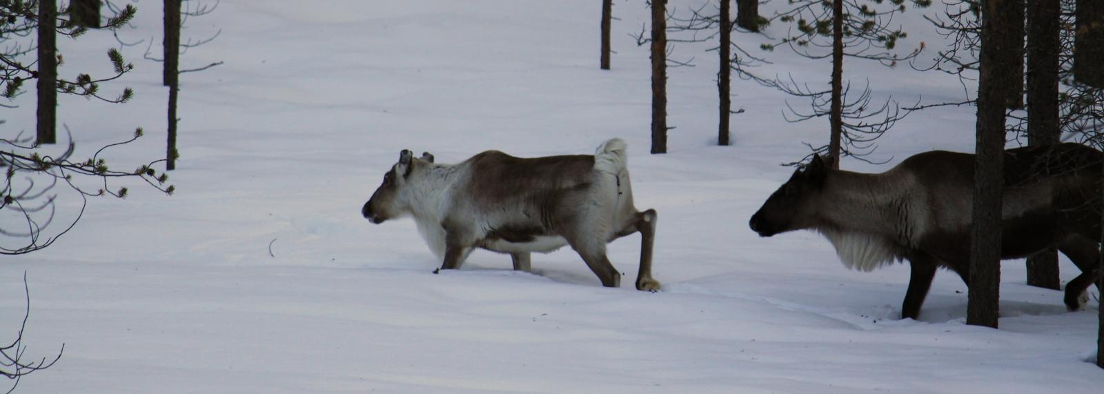 Reindeer, Ivalo