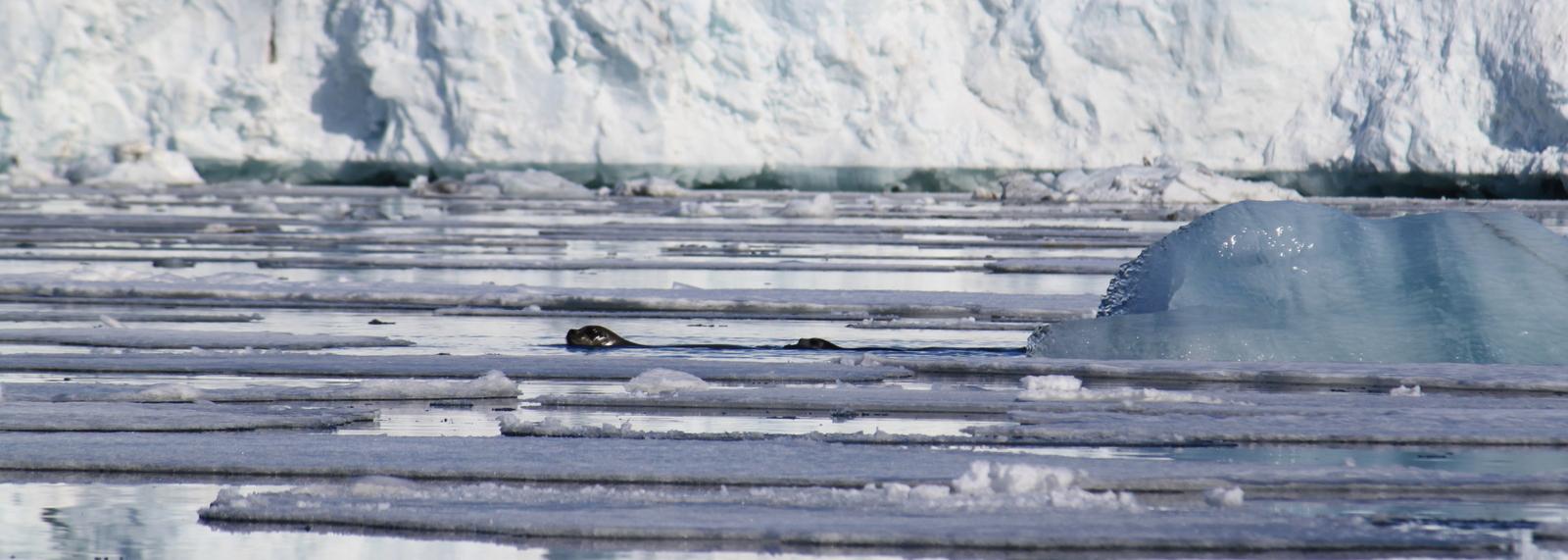 Hornsund, Bearded Seal