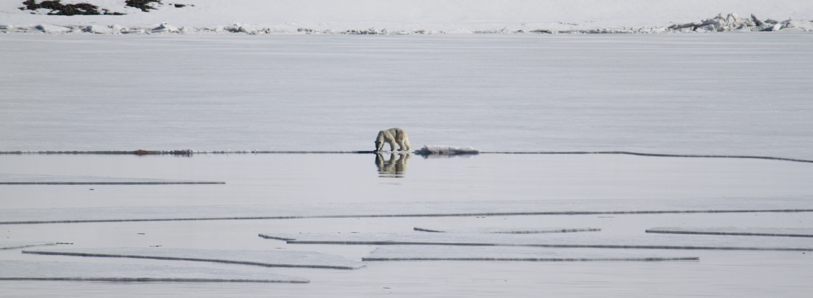 Hornsund, Polar Bear