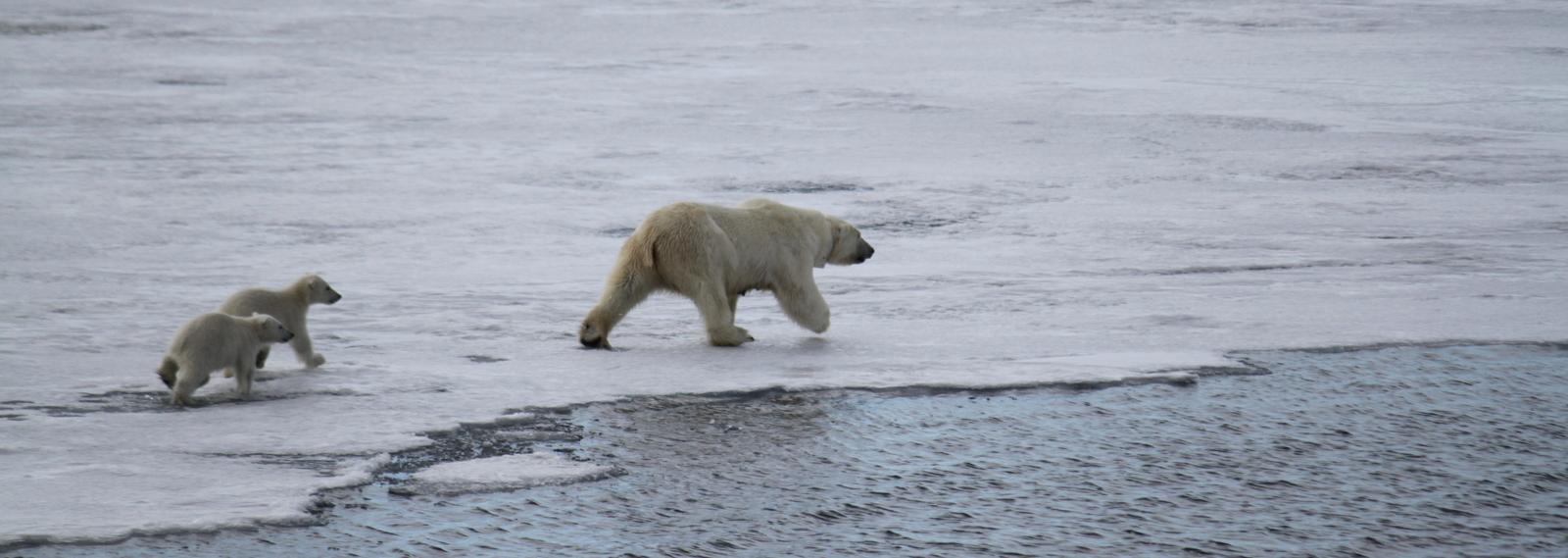 Hornsund, Polar Bears