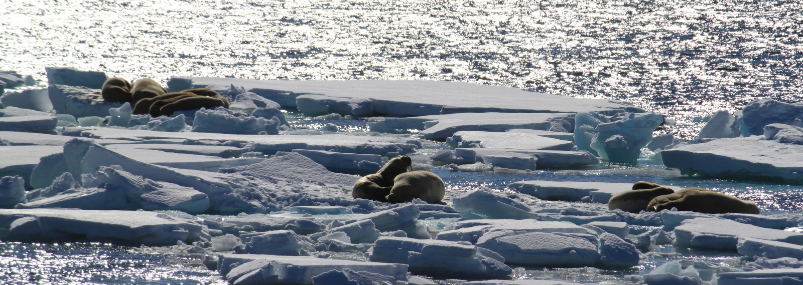 Walrus near Smeerenburg Fjord