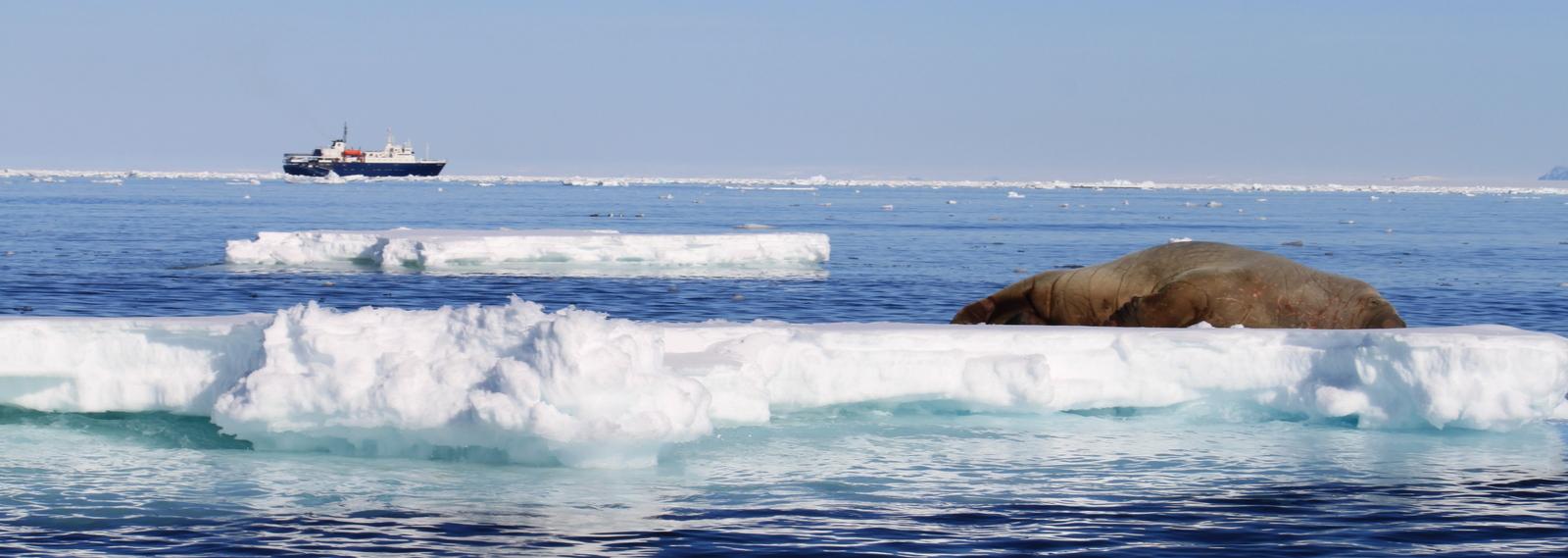 Zodiac Tour, Walrus