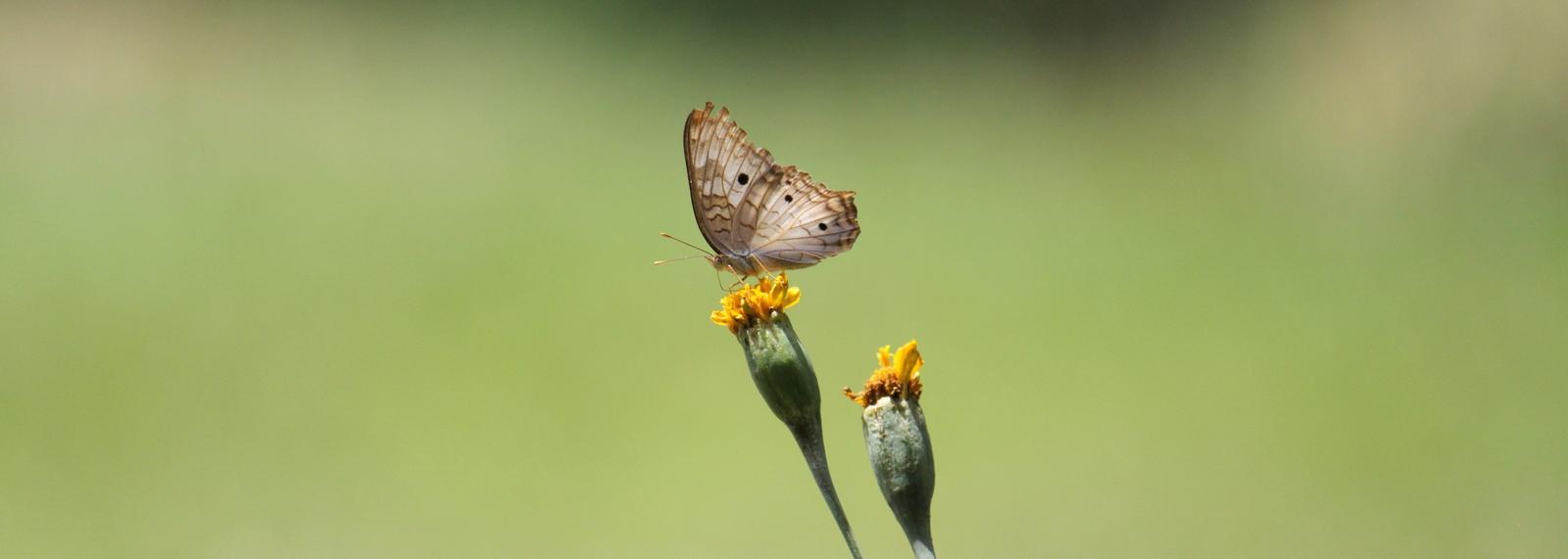 'Butterfly 'Junonia Evarete', Frederiksdorp