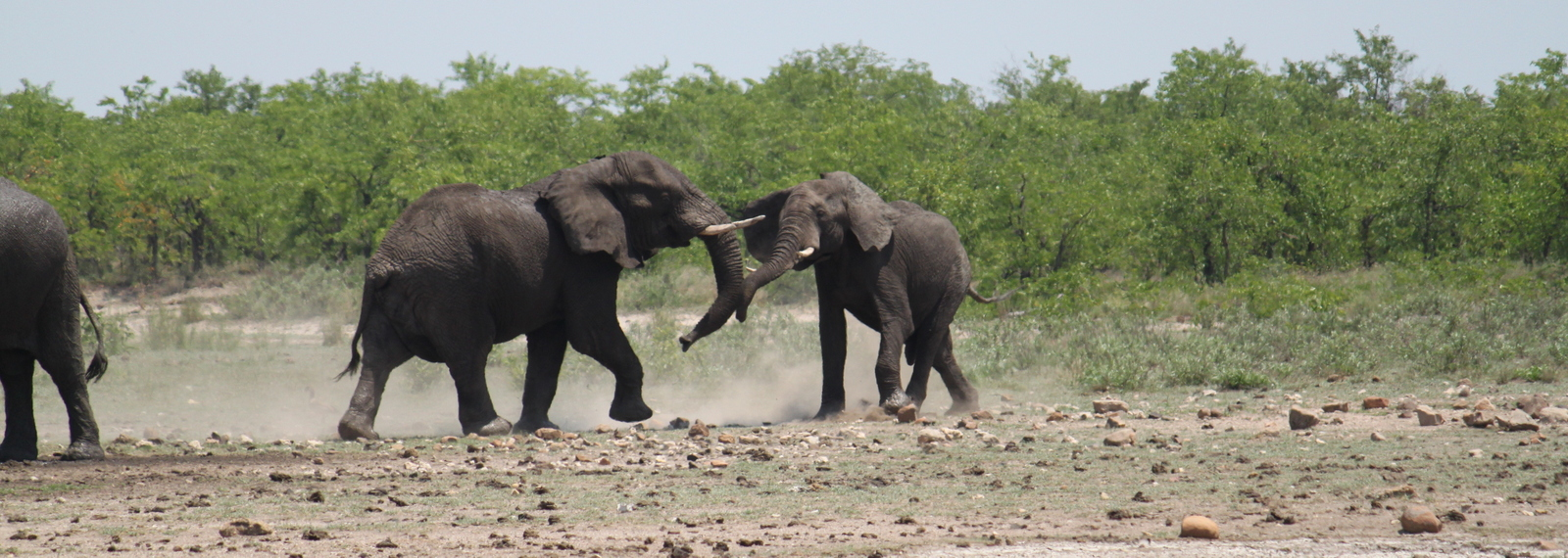 Fighting Elephants, Kruger, Zuid Afrika