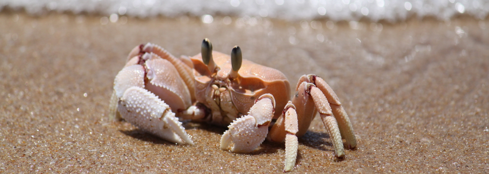 Crab, Tofu Beach, Mozambique