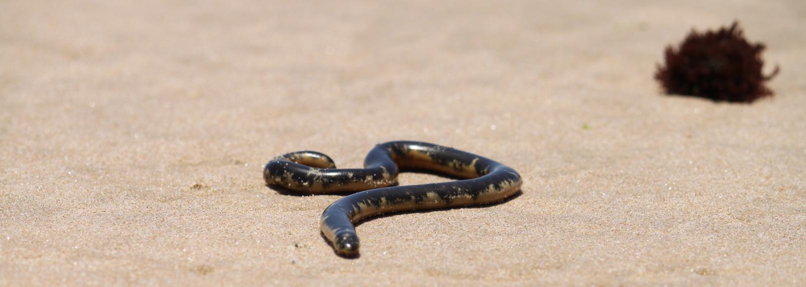Sea Snake, Tofu Beach, Mozambique
