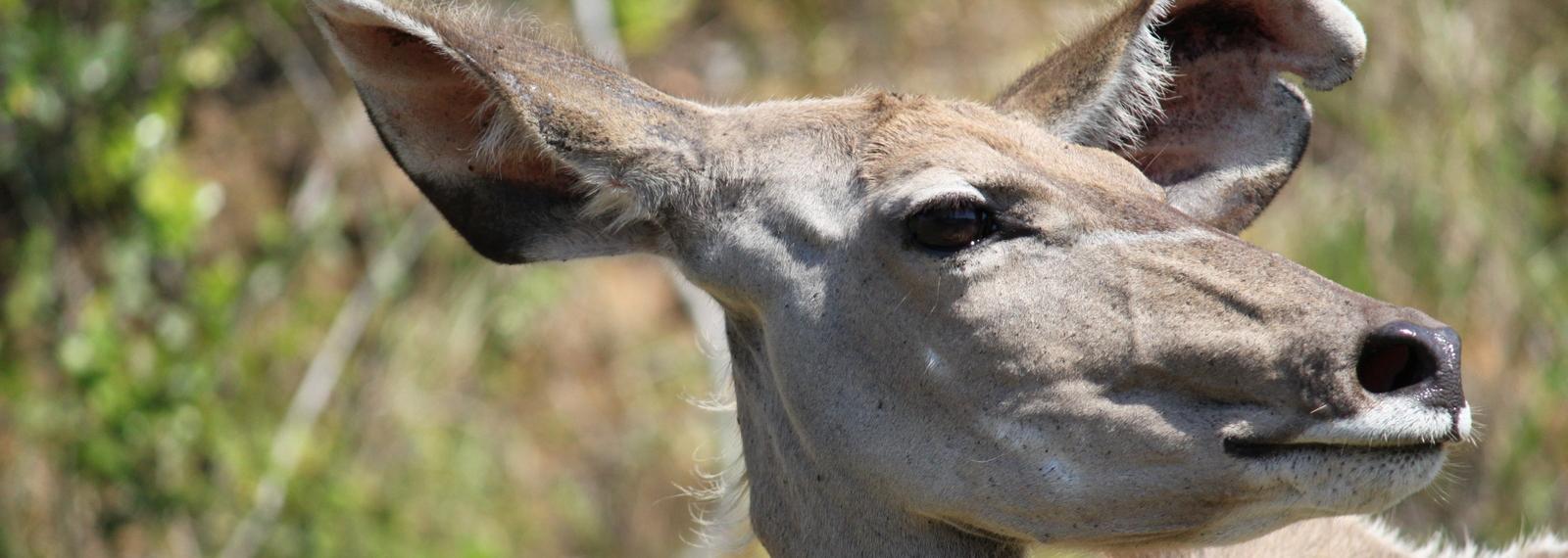 Kudu, iSimangalismo, Zuid Afrika